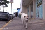 Thương nhớ người chủ đã qua đời, mỗi ngày chú chó Brazil đều đi trên con đường cũ