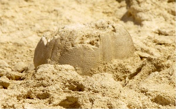 Ảnh hóa thạch con cầu gai mà ông Morsi vấp phải. (Ảnh: Gizaforhumanity)