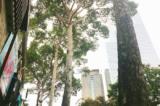 Sài Gòn 'đổ' bóng những cây dầu