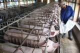 Chăn nuôi thua lỗ ảnh hưởng tới sức khỏe hệ thống ngân hàng
