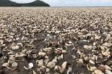 300 tấn nghêu chết trắng bờ biển Kiên Giang: Đã có kết quả phân tích ban đầu