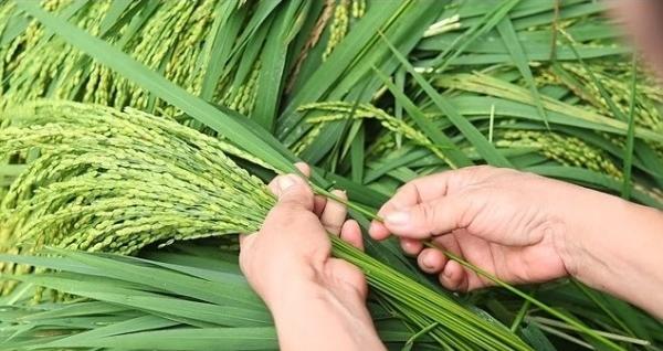 Nghề cổ đất Việt – Kỳ 3: Cốm làng Vòng – Hương cốm gợi thu về