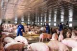 Giá thịt lợn hơi đã tăng trở lại – có nên vui mừng sớm?