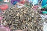 Phú Yên: Hơn 500.000 con tôm hùm chết, người dân thiệt hại hàng chục tỷ đồng