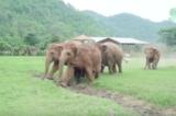 """Đàn voi chạy đến """"chào mừng"""" chú voi con mồ côi mới được nhận nuôi (Video)"""