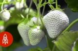 Người nông dân Nhật Bản lai tạo ra loài dâu tây trắng đặc biệt