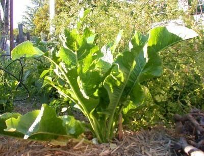 horseradish cai ngua