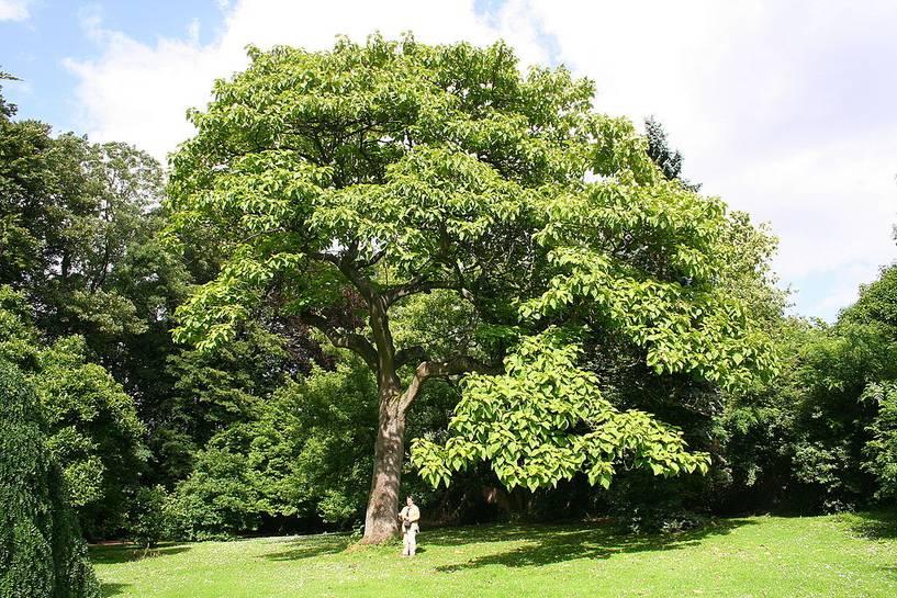 12 cái cây 'dị biệt' nắm giữ kỷ lục trong thế giới thực vật