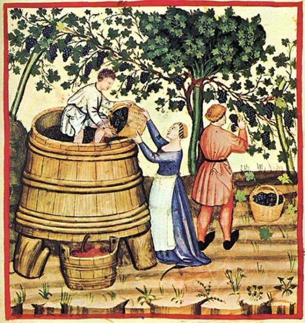 Thu hoạch và sản xuất rượu vang vào thế kỷ 14 (ảnh: Public Domain)