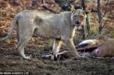 Sư tử cái động lòng trắc ẩn khi ăn thịt con linh dương đang mang thai