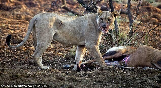 su tu, sư tử lòng trắc ẩn