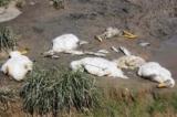 Quảng Nam: Chờ xét nghiệm nguồn nước khiến vịt nuôi chết hàng loạt tại khe Dốc Đỏ