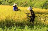 Niên vụ 2017-2018: Dự báo sản lượng lúa tăng nhẹ, xuất khẩu gạo theo chiều sâu