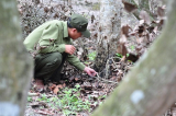 Đồng Nai: Điều tra vụ 242 cây gỗ dầu, sao bị đầu độc bằng thuốc diệt cỏ 2,4D