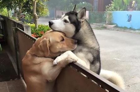 Chú chó vượt tường rào để đến ôm 'bạn thân' hàng xóm