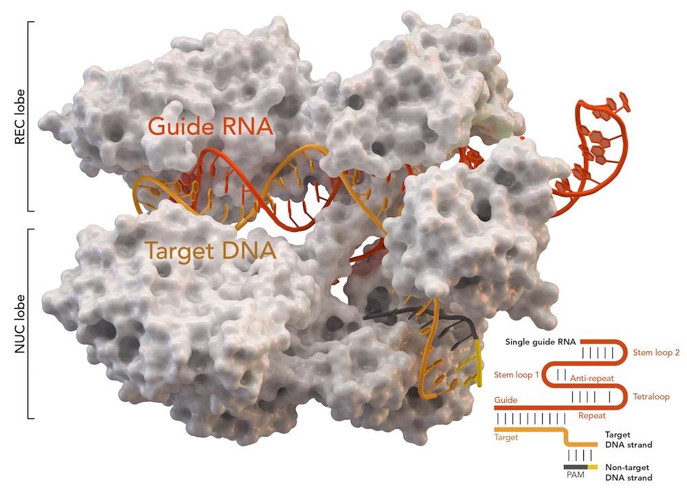 Protein Cas9 (trắng) liên kết với CRISPR ở trong khuẩn tụ cầu vàng