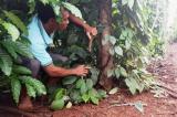 Đắk Lắk: Điều tra vụ 200 gốc tiêu bị kẻ gian chặt đứt tại huyện Cư M'gar