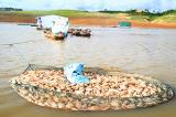 Kon Tum: Gần 60 tấn cá chết bất thường tại hồ thủy điện Plei Krông