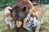 Gặp gia đình gấu-hổ-sư tử thân thiết suốt 15 năm qua