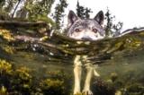 Bộ ảnh: Loài sói biển bơi hàng dặm để săn cá hồi ngoài khơi Canada