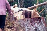 Vụ phá hơn 53 m3 gỗ pơ mu: Nguyên đồn phó Biên phòng là chủ mưu