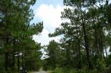 Chặt 122ha rừng thông hơn 20 tuổi để trồng mắc ca