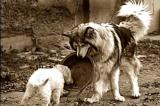 Chú chó sắp chết nhưng vẫn giúp đỡ đồng loại
