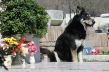Chú chó trung thành ở Argentina túc trực suốt 10 năm bên mộ chủ