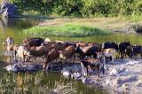Dịch lở mồm long móng tại Gia Lai có nguy cơ bùng phát cao
