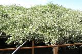 Chiêm ngưỡng vẻ đẹp của bụi hoa hồng trắng cổ thụ lớn nhất thế giới