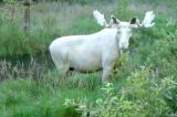 Thụy Điển: Nai sừng tấm hiếm hoi có màu trắng toàn thân (video)