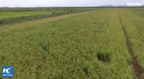 lúa có khả năng chịu mặn