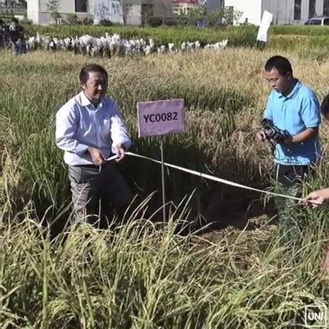 Khoa học gia Trung Quốc tạo thành công giống lúa chịu mặn, hứa hẹn giải quyết lương thực cho 200 triệu dân