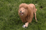 """Sư tử """"hóa"""" mèo nhà khi chơi đùa cùng trái bóng"""