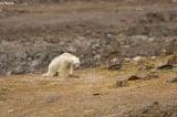 Cảnh tượng thương tâm: Con gấu Bắc Cực gầy đói lục thùng rác tìm thức ăn (Video)