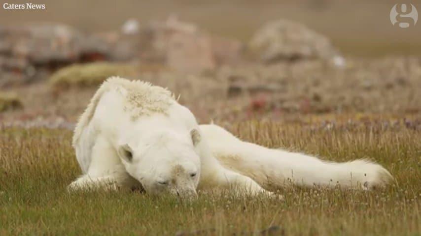 Những giờ cuối cùng của một con gấu Bắc cực sắp chết vì đói