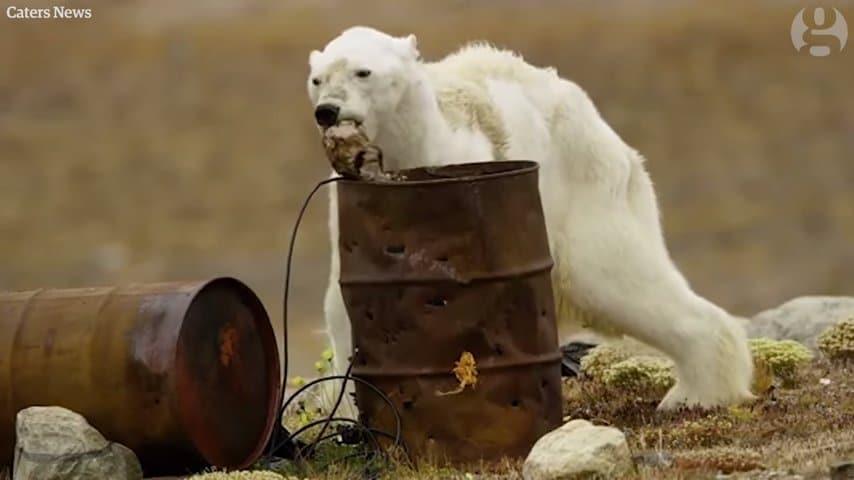 Những giờ cuối cùng của một con gấu Bắc cực sắp chết vì đói, Chú gấu Bắc Cực gầy đói xơ xác lục thùng rác tìm thức ăn (Video)