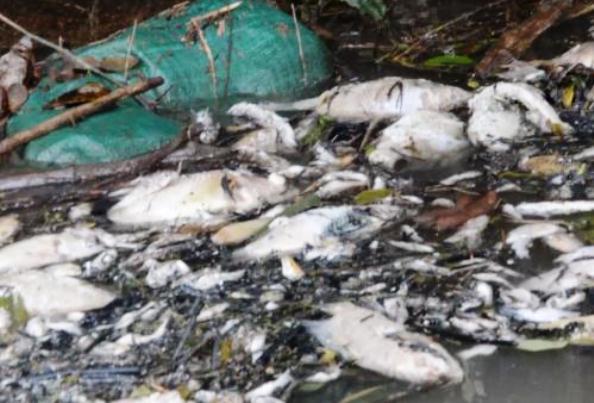 sông Phủ, cá chết