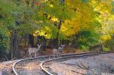 Đường sắt Nhật Bản dùng hiệu ứng âm thanh và sóng siêu âm bảo vệ hươu nai hoang dã