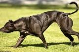 """Các nhà khoa học Trung Quốc biến đổi gen để tạo ra giống chó """"siêu đô con"""""""