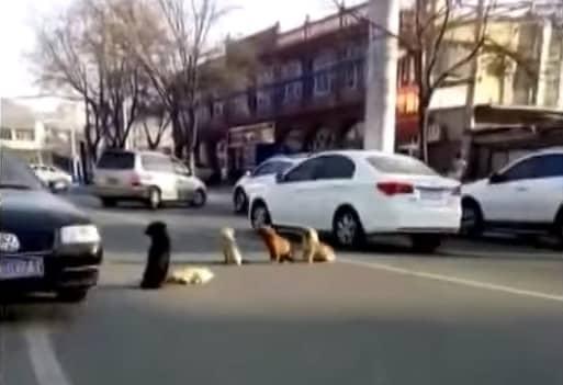4 chú chó lang thang ngồi chắn giữa đường để bảo vệ 'người bạn' bị xe tông