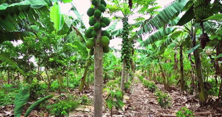 Nông nghiệp sinh thái: Vườn là rừng, và rừng cũng là vườn