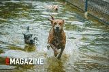 Năm Mậu Tuất kể chuyện giống chó quý Phú Quốc