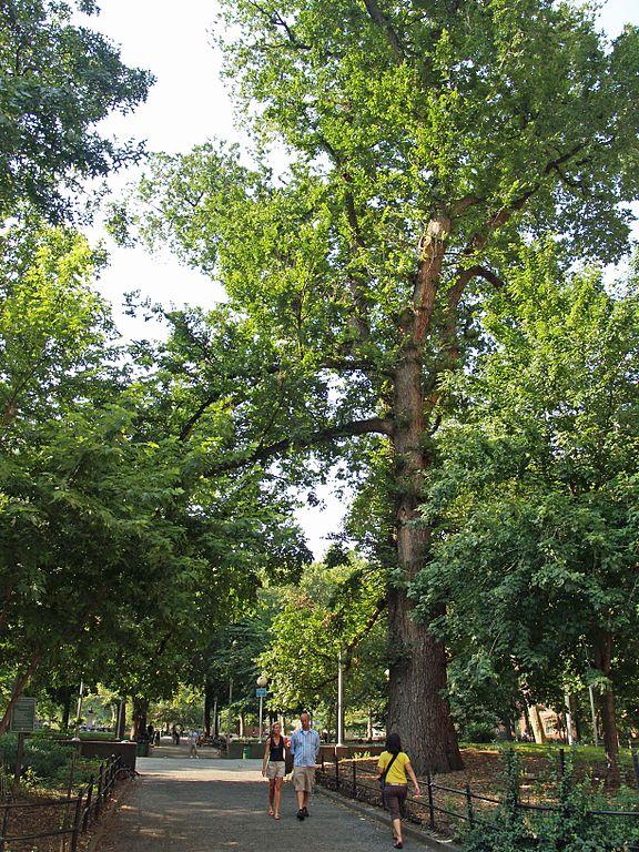 15 cây cổ thụ đặc biệt được xem như báu vật của nước Mỹ