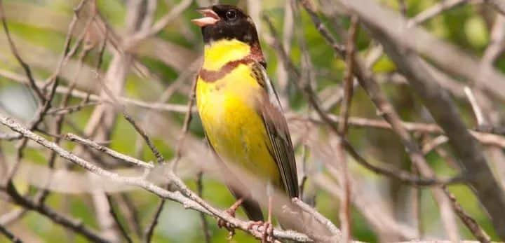 chim sẻ đồng ngực vàng