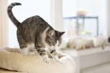 """Vì sao mèo hay thực hiện động tác """"nhào bột""""?"""