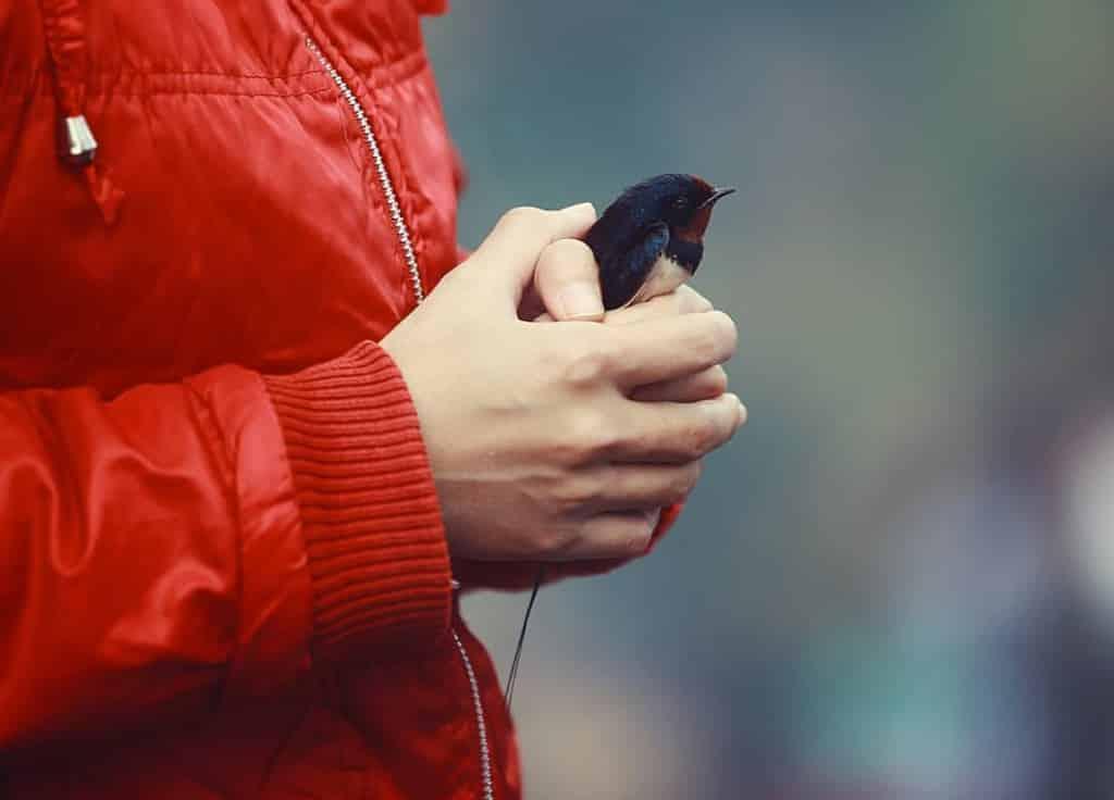 chim phong sinh