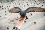 Cấm cho chim bồ câu ăn ở San , luật cấm