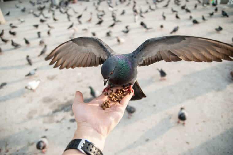 Cấm cho chim bồ câu ăn ở San Francisco