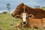 chăn thả trâu bò